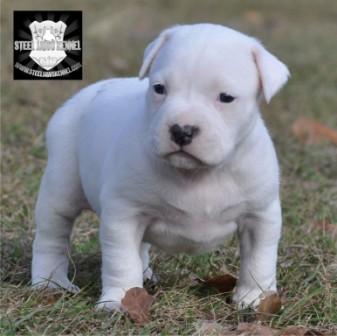 big boi pitbull puppies kennel